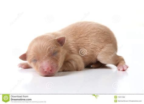 newborn pomeranian puppies newborn pomeranian puppy sleeping on white backgro stock photography image 11817462