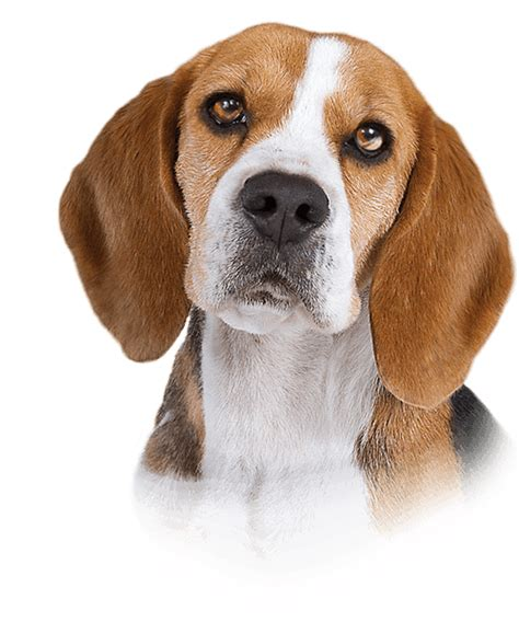 dogs 101 beagle dogs 101 on animal planet breeds picture