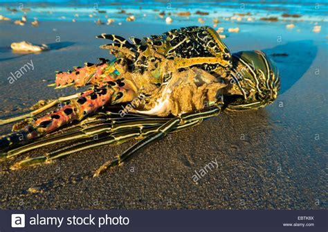 Email Search Australia Free Stranded Crayfish Australia Western Australia Exmouth Stock Photo Royalty Free