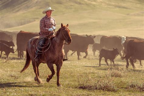 australian cattle cowboys agriculture photography by todd klassy montana blog