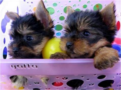 free yorkies in florida pets miami fl free classified ads