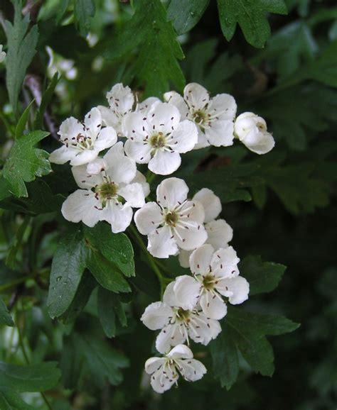 white hawthorn blossom state symbols usa