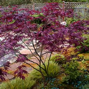 buy purple ghost japanese maple 3 gallon japanese maples buy plants online