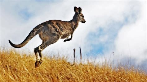8 Facts You Never Knew by Awesome Kangaroo Facts You Never Knew Lushzone