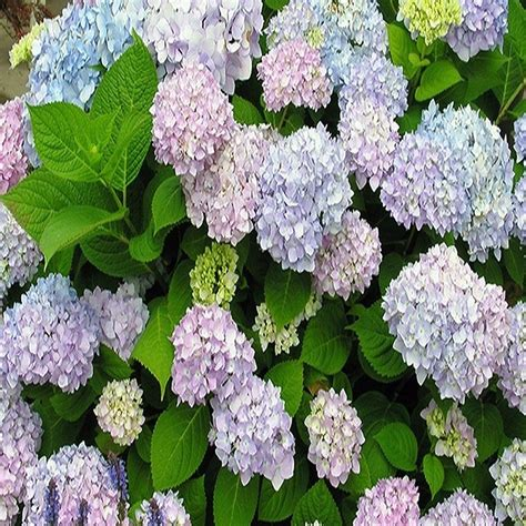 onlineplantcenter 3 gal endless summer hydrangea shrub