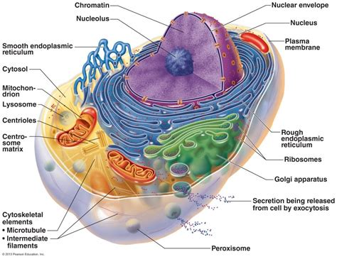 labeled cell diagram anatomy of human cell diagrams diagram site