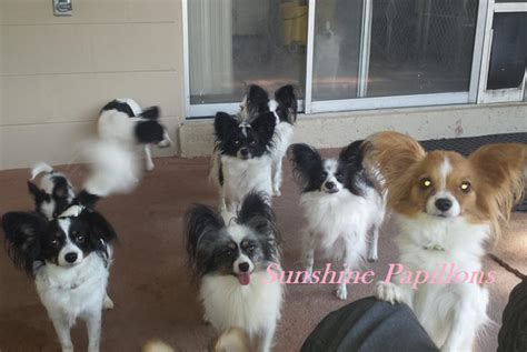 papillon puppies for sale in florida gallery of our papillon pictures papillon puppies for sale in florida papillon