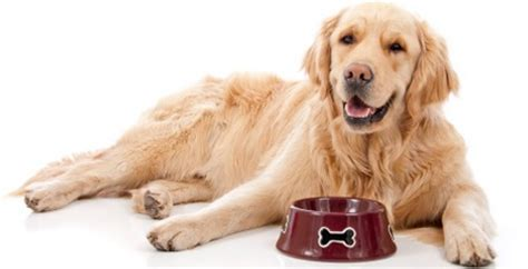 best food for golden retrievers best food for a golden retriever dogs in our photo