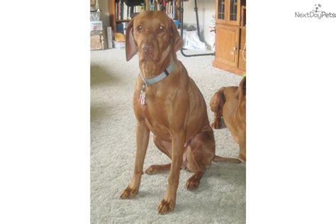 vizsla puppies for sale california akc family raised chion bloodlines vizsla puppies vizsla for photo breeds picture