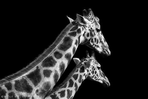 imagenes de jirafas a blanco y negro hd arte en blanco y negro con animales taringa