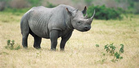 black rhino black rhino facts habitat population in wild conservation