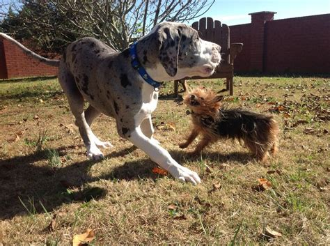yorkie great dane mix whoa attack of the killer yorkie yikes aden robbie great dane yorkie raising