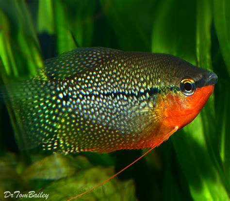 gourami for sale at aquariumfish net