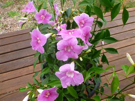 Soil Mix For Container Gardening - pandorea jasminoides funky bellz bower of beauty gardening with angus