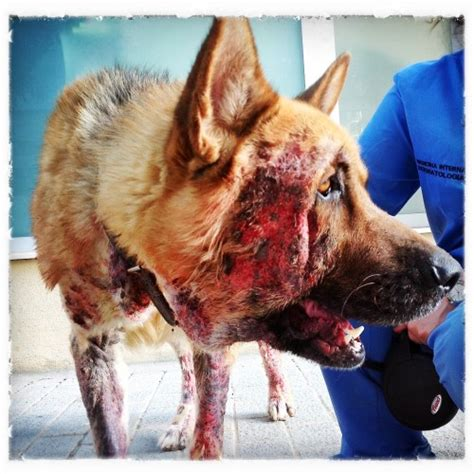 leishmaniasis in dogs clinica veterinaria estepona 14 things you did not about leishmania