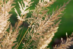 Biji Ilalang Cortaderia Green Gold Pass Grass see our top 10 autumn ornamental grasses for the garden rhs gardening
