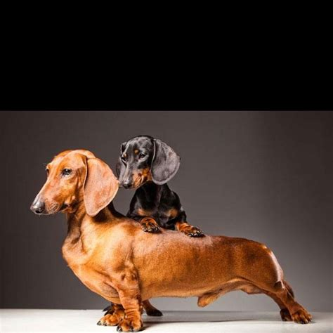 dachshund puppies ta 10 best images about doxie on dachshund