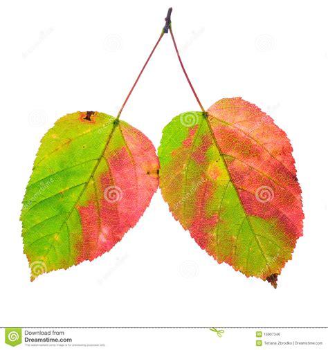 descargar imagenes nuevas variadas dos hojas variadas imagen de archivo libre de regal 237 as
