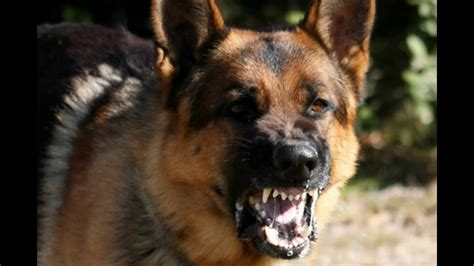 How To Keep Dog From Barking by Angry Dogs Crazy Angry Dogs Angry Dog Bark Growl Sound