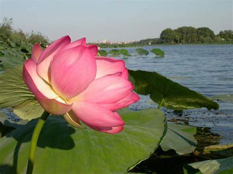 fiori di loto mantova i barcaioli mincio fior di loto