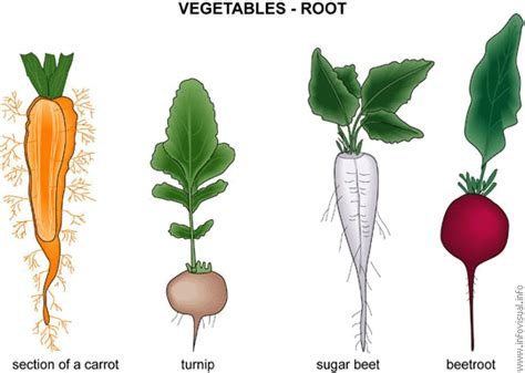 vegetables with roots plants we use in our daily lives