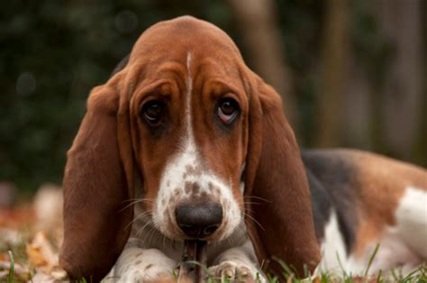 cortana show me pictures of floppy eared dogs 4 things you need to know about basset hounds vetiq