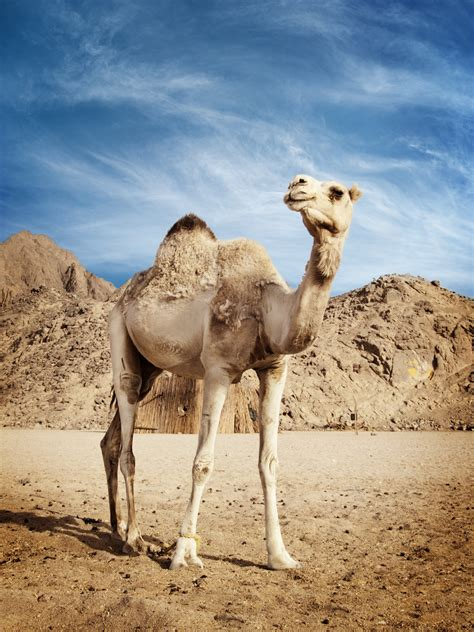 antibody study hints  mers   african camels cidrap