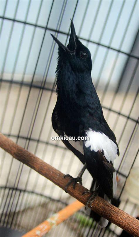 Bros Dua Burung ikpbs tiga burung nyeri lovebird konslet dilipat 75 jeti klub burung