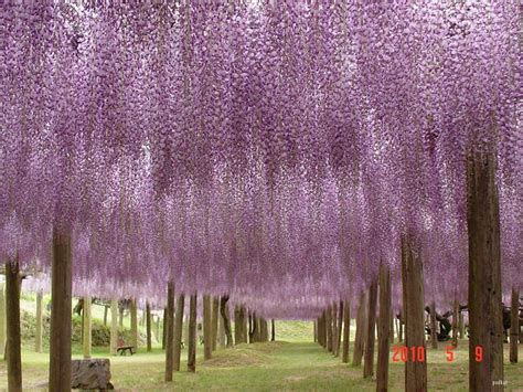wisteria flower tunnel japan the wisteria flower tunnel at kawachi fuji garden 171 twistedsifter