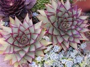 Agave Plant Diseases - echeveria agavoides ebony ebony wax agave world of succulents
