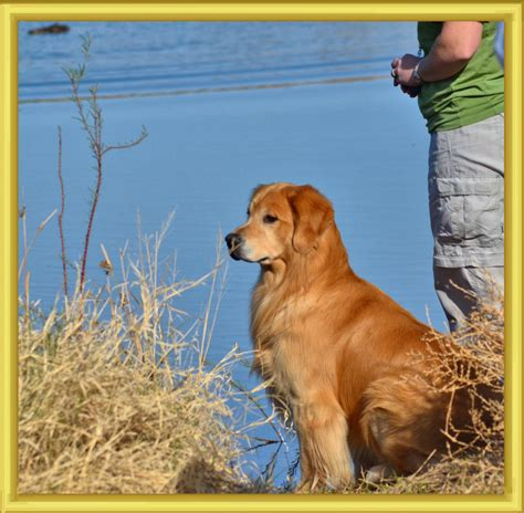 valor golden retrievers websitejacksonoriginalabkv valor goldens