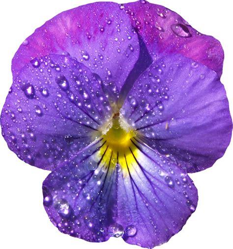 Flowers Violet violet flower with dew png clipart blumen