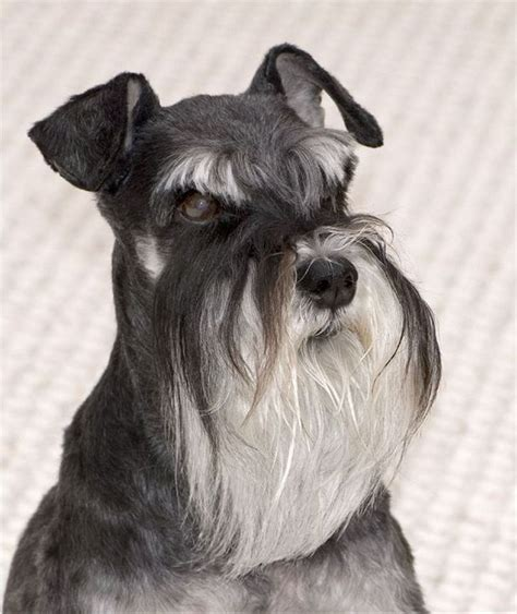 show me some hair cuts for miniature schnauzers 55 adorable miniature schnauzer dog pictures