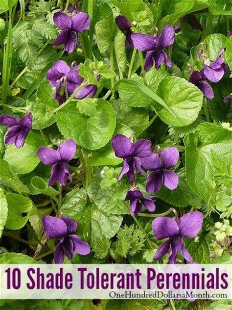 perennials violets and shades on pinterest