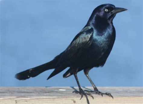 Identifying Grackles Bird Barrier Blue Bird On Neck