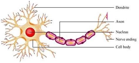 neuron diagram labeled neuron labeled diagram clipart best