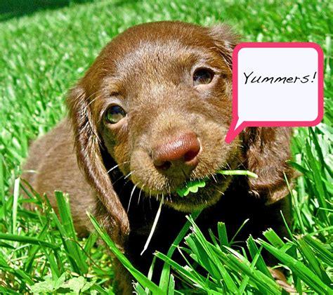 dogs eat grass vetlive