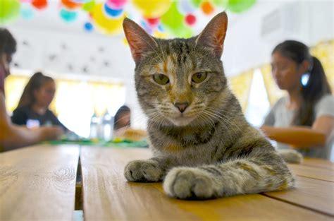a cat for the cat adopt a cat in san jose