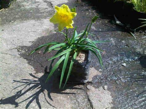 Tanaman Hias Bunga Daylily Kuning tanaman daylily lemon bibitbunga