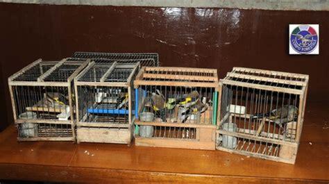 riproduzione cardellini di cattura in gabbia cardellino una tradizione tutta napoletana lacooltura
