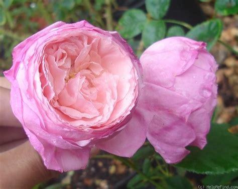 lady heirloom rose