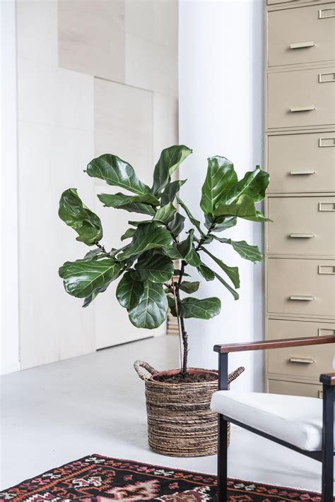 Ficus Lyrata Pflege ficus lyrata pflanzenfreude