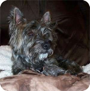 yorkie and westie mix bellatrix adopted fremont ca yorkie terrier westie west