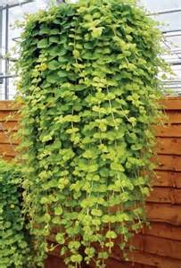 Trailing Hanging Basket Foliage Plants - related keywords amp suggestions for trailing plants
