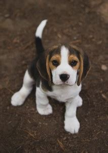 beagle puppies seattle canadian kennel club kazuri page 2