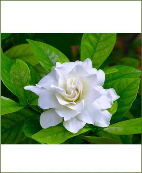 gardenia flower delivery gardenia ananta gandhraj
