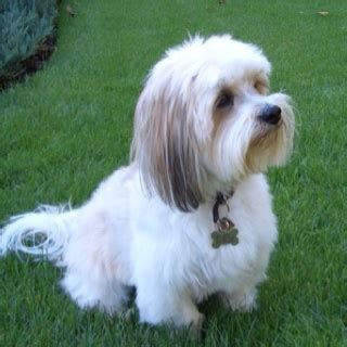 shih tzu lhasa apso mix hypoallergenic 17 best images about lhasa apso on tibet best dogs and puppys