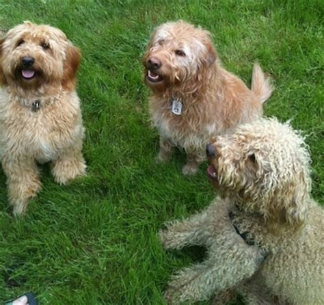 mini doodle drøbak miniature labradoodle breed information and pictures
