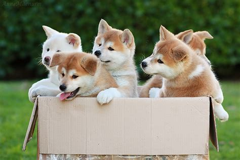 box of puppies 35 most akita puppy pictures and photos