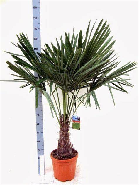 winterharde palmboom in tuin bol winterharde palmboom trachycarpus fortunei